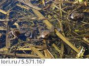 Купить «Лягушки в пруду», эксклюзивное фото № 5571167, снято 29 апреля 2013 г. (c) Елена Коромыслова / Фотобанк Лори