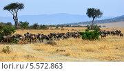 Купить «Африканский пейзаж с антилопами гну», фото № 5572863, снято 20 августа 2010 г. (c) Знаменский Олег / Фотобанк Лори