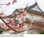 Купить «Красивое цветение сакуры», фото № 5576703, снято 23 марта 2008 г. (c) Serg Zastavkin / Фотобанк Лори