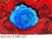 Синяя роза среди красных. Стоковое фото, фотограф Сергей Филимончук / Фотобанк Лори