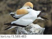 Северная, или обыкновенная олуша (лат. Morus bassanus).  Птицы чистят перья, сидя на камне (2011 год). Стоковое фото, фотограф Galina Vydryakova / Фотобанк Лори