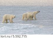 Купить «Семья белых медведей, идущая по неокрепшему льду Чукотского моря», фото № 5592715, снято 10 ноября 2013 г. (c) Максим Деминов / Фотобанк Лори