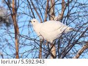 Купить «Белая куропатка», фото № 5592943, снято 5 февраля 2014 г. (c) Григорий Писоцкий / Фотобанк Лори
