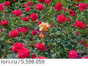 Красные розы. Стоковое фото, фотограф Opra / Фотобанк Лори