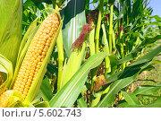 Купить «Молодые початки кукурузы», фото № 5602743, снято 22 марта 2019 г. (c) Швадчак Василий / Фотобанк Лори