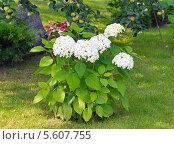 Купить «Куст цветущей белой древовидной гортензии», фото № 5607755, снято 28 августа 2013 г. (c) Светлана Попова / Фотобанк Лори