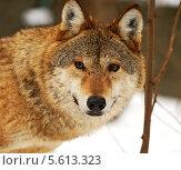Купить «Портрет волка зимой», фото № 5613323, снято 3 февраля 2014 г. (c) Эдуард Кислинский / Фотобанк Лори