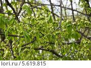 Купить «Плоды вяза, или ильма (Ulmus) весной», фото № 5619815, снято 5 мая 2012 г. (c) Алёшина Оксана / Фотобанк Лори