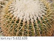 Купить «Колючки кактуса макро», фото № 5632639, снято 21 февраля 2014 г. (c) Наталья Волкова / Фотобанк Лори