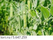 Купить «Зеленый горошек (лат. Pisum) на грядке», эксклюзивное фото № 5647259, снято 4 июля 2013 г. (c) Елена Коромыслова / Фотобанк Лори
