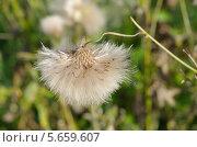 Купить «Бодяк полевой, или розовый осот (лат. Cirsium arvense) после цветения», эксклюзивное фото № 5659607, снято 20 августа 2013 г. (c) Елена Коромыслова / Фотобанк Лори