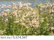Купить «Бодяк полевой, или розовый́ осот (лат. Cirsium arvense)», эксклюзивное фото № 5674947, снято 14 июля 2013 г. (c) Александр Щепин / Фотобанк Лори