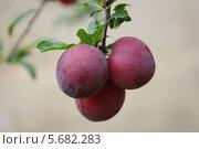 Плоды алычи на ветке. Стоковое фото, фотограф Василий Нестеренко / Фотобанк Лори