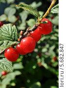 Плоды войлочной вишни на кусте. Стоковое фото, фотограф Василий Нестеренко / Фотобанк Лори