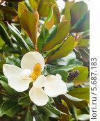 Купить «Цветок магнолии крупноцветковой. Magnolia Grandiflora», фото № 5687183, снято 24 июня 2013 г. (c) Яков Филимонов / Фотобанк Лори