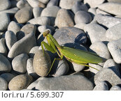 Купить «Богомол обыкновенный (Mantis religiosa Linnaeus) среди камней», фото № 5699307, снято 13 сентября 2011 г. (c) Ирина Борсученко / Фотобанк Лори