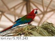 Попугай Ара крупным планом. Стоковое фото, фотограф Олег Прокофьев / Фотобанк Лори