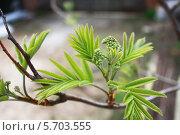 Купить «Зелёные листья и бутоны на ветке рябины», фото № 5703555, снято 20 июня 2019 г. (c) Мария Северина / Фотобанк Лори