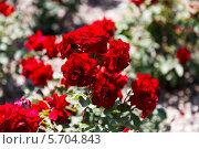 Цветущие красные розы в саду. Стоковое фото, фотограф Олег Прокофьев / Фотобанк Лори