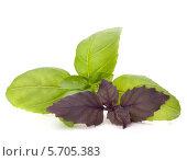 Зеленые и фиолетовые листья базилика на белом фоне. Стоковое фото, фотограф Natalja Stotika / Фотобанк Лори