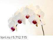 Белая орхидея (фаленопсис) на белом фоне. Стоковое фото, фотограф Александра Полупанова / Фотобанк Лори