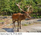 Купить «Старик. Благородный олень (Cervus elaphus)», фото № 5713931, снято 24 июля 2013 г. (c) Валерия Попова / Фотобанк Лори