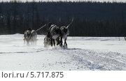 Купить «Две упряжки северных оленей на зимней дороге», видеоролик № 5717875, снято 18 февраля 2014 г. (c) Юрий Пономарёв / Фотобанк Лори
