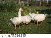 Купить «Белые гуси пасутся», эксклюзивное фото № 5724915, снято 17 июля 2012 г. (c) Вероника / Фотобанк Лори