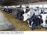 Купить «Коровы едят силос в стойлах на молочной ферме», фото № 5729071, снято 17 мая 2013 г. (c) Losevsky Pavel / Фотобанк Лори