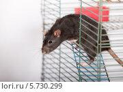 Купить «Чёрная домашняя крыса в клетке», фото № 5730299, снято 25 августа 2008 г. (c) Argument / Фотобанк Лори