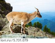 Купить «Горный баран на скале на фоне гор», фото № 5731079, снято 19 марта 2019 г. (c) Яков Филимонов / Фотобанк Лори