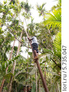 Купить «Добычик кокосов. Гоа», эксклюзивное фото № 5735047, снято 18 июля 2019 г. (c) ФЕДЛОГ / Фотобанк Лори
