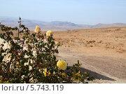 Иордания. Цветущий куст роз в пустыне. Стоковое фото, фотограф Ольга Коцюба / Фотобанк Лори