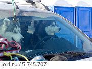 Две собаки хаски сидят за рулем автомобиля. Стоковое фото, фотограф Светлана Пальцева / Фотобанк Лори