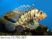 Купить «Рыба-крылатка», фото № 5750367, снято 14 марта 2014 г. (c) Михаил Коханчиков / Фотобанк Лори