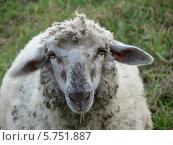 Овца. Стоковое фото, фотограф Jakob Sergejew / Фотобанк Лори
