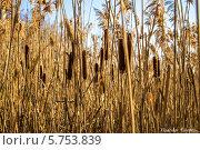 Камыши. Стоковое фото, фотограф Владислав Полушкин / Фотобанк Лори