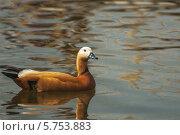 Купить «Коричневая утка в пруду», фото № 5753883, снято 1 мая 2008 г. (c) BestPhotoStudio / Фотобанк Лори