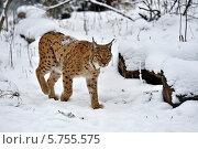 Купить «Рысь шагает по снегу», фото № 5755575, снято 22 января 2014 г. (c) Эдуард Кислинский / Фотобанк Лори