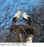 Купить «Белые аисты весной в гнезде на фоне деревьев и голубого неба», фото № 5755763, снято 7 января 2012 г. (c) Эдуард Кислинский / Фотобанк Лори