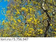 Купить «Цветущее дерево, кизил, на фоне синего неба ранней весной», эксклюзивное фото № 5756947, снято 29 марта 2014 г. (c) Svet / Фотобанк Лори