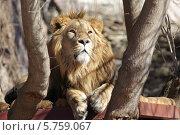 Купить «Лев в Московском зоопарке», эксклюзивное фото № 5759067, снято 10 марта 2014 г. (c) Дмитрий Неумоин / Фотобанк Лори