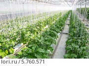 Выращивание баклажанов в промышленной теплице. Стоковое фото, фотограф Елена Коромыслова / Фотобанк Лори