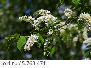 Купить «Цветущая черемуха в весеннем саду», фото № 5763471, снято 7 мая 2012 г. (c) Яков Филимонов / Фотобанк Лори
