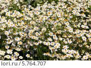 Купить «Поле полевых ромашек», фото № 5764707, снято 30 июня 2012 г. (c) Наталья Волкова / Фотобанк Лори