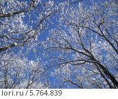 Небо сквозь снежные ветки. Стоковое фото, фотограф Анастасия Виноградова / Фотобанк Лори
