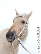 Соловая, желтая лошадь в белой уздечке на фоне неба. Стоковое фото, фотограф Екатерина Воронкова / Фотобанк Лори