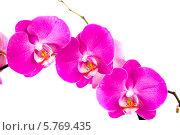 Орхидея крупным планом на белом фоне. Стоковое фото, фотограф Ольга Стрейкмане / Фотобанк Лори