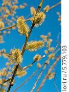 Купить «Веточки цветущей вербы ранней весной», эксклюзивное фото № 5779103, снято 5 апреля 2014 г. (c) Svet / Фотобанк Лори