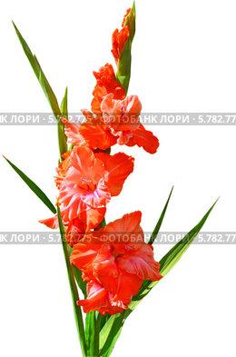 Гладиолус красный на белом фоне. Стоковое фото, фотограф Agnes Chvankova / Фотобанк Лори